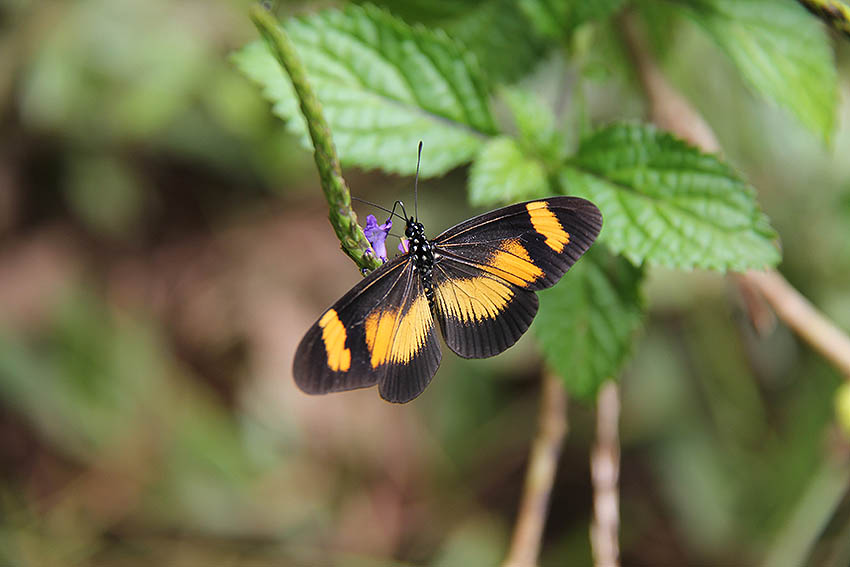 /Acraea massaris