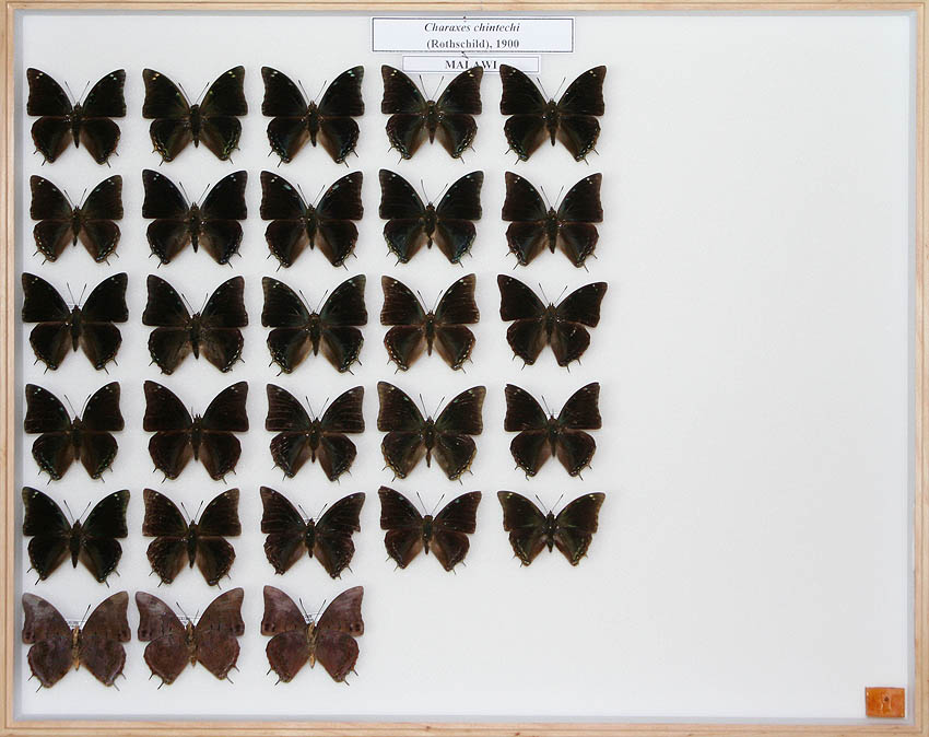 /Charaxes chintechi