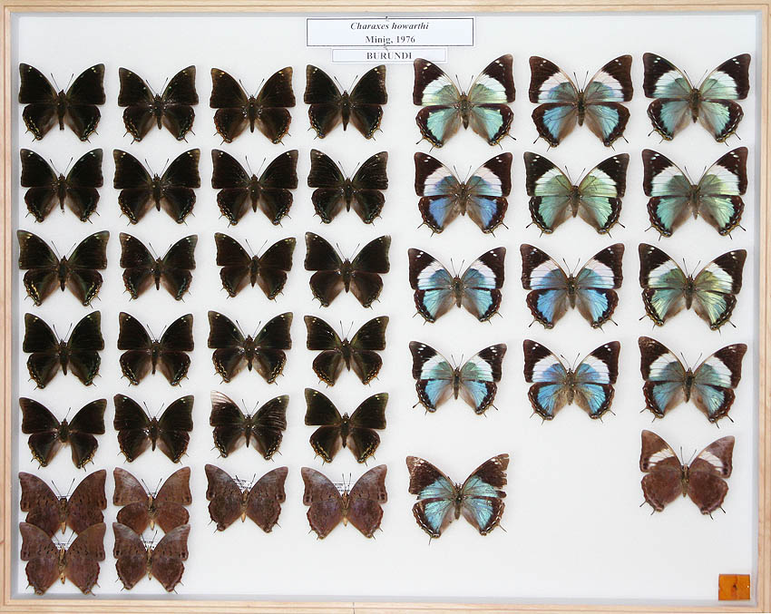 /Charaxes howarthi