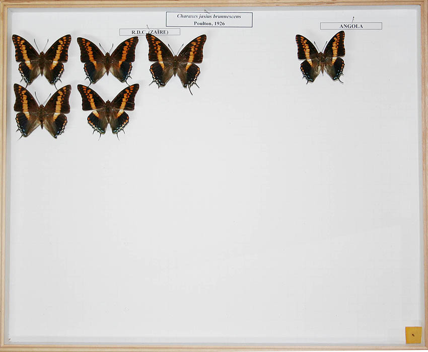 /Charaxes jasius brunnescens
