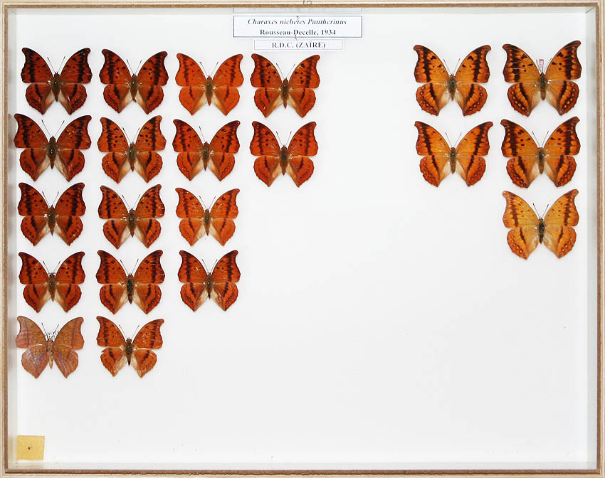 /Charaxes nichetes pantherinus