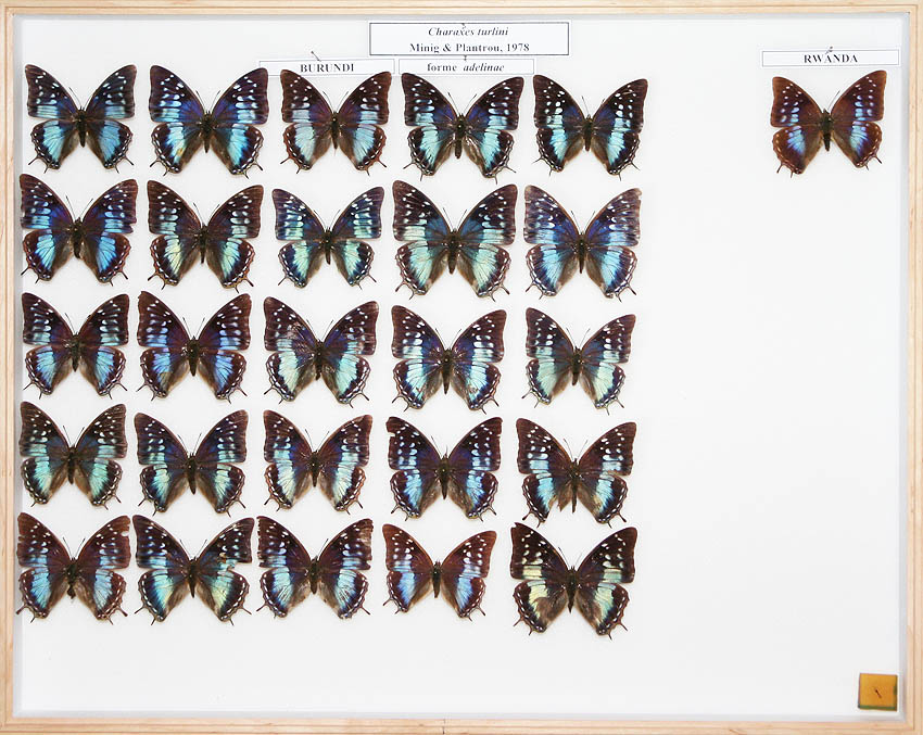 /Charaxes turlini