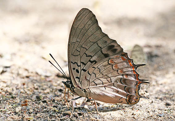 /Charaxes etheocles mâle